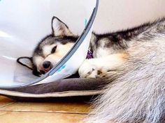 Day 4 as a cone head and not impressed at all  Don't forget to enter our giveaway, just follow and comment on our last post  There is one prize for cats and one for dogs they can be seen in our story ❤ #leah #coneofshame #giveaway #dog #malamute #pet #alaskanmalamute #dogsofinstagram #malamutesofinstagram #dogs_of_instagram #petsofig #petsofinstagram #sleddog #snowdog #dogmom #cutepetclub #petoftheday #woof #bestwoof #doglover #floof #fluffy #doglife #cute #follow #like #paws #mygirl Pet O, Snow Dogs, Alaskan Malamute, Dog Life, Dog Mom, My Girl, Don't Forget, Husky, Dog Lovers