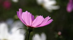 #cosmos #autumn #flowers #コスモス #秋桜