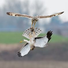 short eared owl and northern harrier fight over vole    (photo by sean crane)