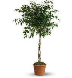 Weeping Fig Tree - Ficus benjamina - Picture, Care Tips