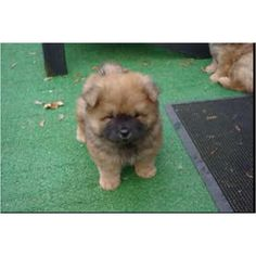 Aww:) look at that little face! :) #chow chow/german shepard puppy