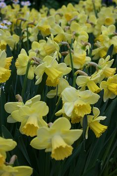 Large Cupped Narcissus 'Day Dream'