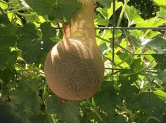 Nylon hose attached to a trellis expands as a cantaloupe grows, catching the ripe melon when it falls off the vine.