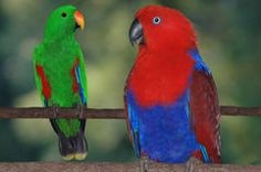 Photo about Breeding pair of Australian red-sided parrots, Eclectus roratus. Image of females, free, australian - 5977385 Photo Stock Images, Parrots, Bird Feathers, Beautiful Birds, Vector Design, Royalty Free Photos, Pictures, Photography, Animals