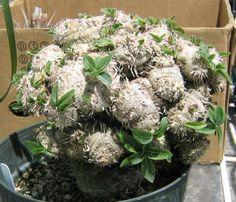 Pachypodium brevicaule crest