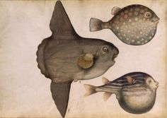 From Album de coquillages et poissons by Claude Aubriet (1665–1742) via @SUGARMEOWS (one stressed, and two very laid back fish)