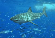 White Shark, King of the Sea - king of the sea, sharks, animals, white shark