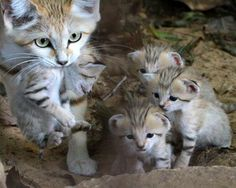 Mother Sand Cat with kittens (Big & Wild)