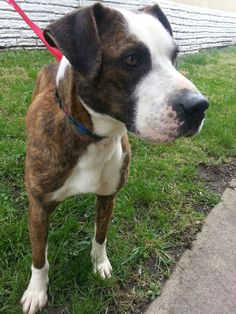 Emmitt is a 4 year old American Bulldog/Boxer with an incredible personality! He would LOVE a home where he can go for numerous walks throughout the day. He enjoys sitting on the sofa with his foster family.Emmitt is undergoing HEARTWORM TREATMENT....