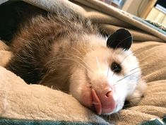 It's cold out there. Please be kind to opossums. Many of them find a cozy place . Pretty Animals, Animals Beautiful, Cute Animals, Tree Rat, Baby Possum, Cutest Animals On Earth, Little Critter, Cute Little Baby, Fleas