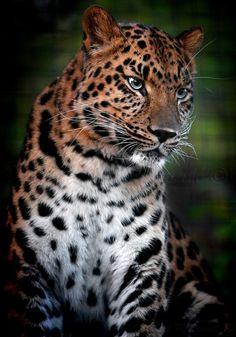 Panthera pardus orientalis par * DuvallGear :)