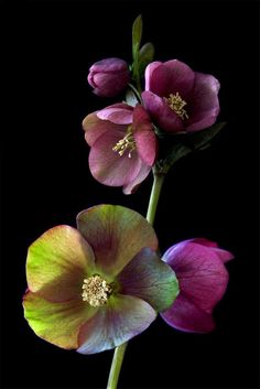 Commonly known as Hellebores, members of the genus Helleborus comprise approximately 20 species of herbaceous perennial flowering plants in the family Ranunculaceae, within which it gave its name to the tribe of Helleboreae
