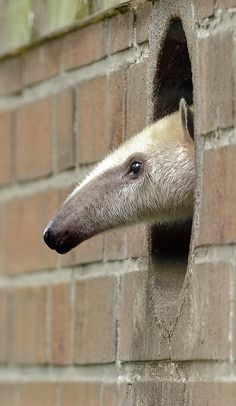 A Giant Anteater by Martin Meissner from a zoo in Dortmund, Germany