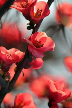 Red Cherry Tree Flowers #iPhone #4s #wallpaper
