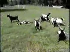 "GOATS  / / If you watch the video, you will see that these are very unusual goats:  They are FAINTING GOATS.  If you don't know what ""FAINT"" and ""FAINTING"" means, watch the video and you will find out."