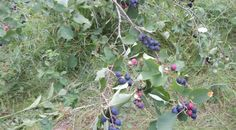 *A ROUND UP of recipes for serviceberries. How to use fresh, frozen, dried, juiced berries.  Good ideas for cooking from the pantry once the harvest is done.  Can use these for a lot of different berries.
