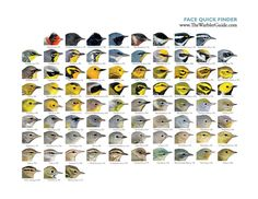 Face Quick Finders from The Warbler Guide, downloads in PDF or JPG at Princeton University Press Blog