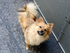 SAFE --- SUPER URGENT - 10/29/14 Manhattan Center   My name is HAVANA. My Animal ID # is A1018467. I am a male brown pekingese mix. The shelter thinks I am about 5 YEARS old.  I came in the shelter as a STRAY on 10/23/2014 from NY 10454, owner surrender reason stated was ABANDON.   https://www.facebook.com/photo.php?fbid=894729587206588