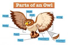 Diagram showing parts of owl Free Vector English Lessons, Learn English, English English, French Lessons, Spanish Lessons, Learn French, Animals Name In English, Teaching French, Teaching Spanish
