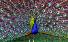 Most Beautiful Birds, Beautiful World, Forest Painting, Diy Painting, Fractals In Nature, Peacock Wallpaper, Bird Wallpaper, Wallpaper Ideas, Wildlife Wallpaper