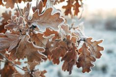 Why Didn't My Tree Lose Its Leaves - What To Do When A Tree Hasn't Lost Its Leaves In Winter