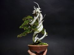 Shohin Juniper Bonsai