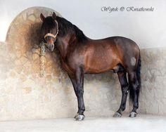 """Icon"" Andalusian stallion Dehesa la Granja S.A. Los Barrios, Cadiz"