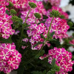'Estrella Pink Star' Verbena  Sunny, hot conditions won't stop 'Estrella Pink Star' verbena from blooming its head off in the landscape or containers. It's a trailing form that can grow up to 18 inches long with bright pink and white blooms covering each plant. The flowers are also popular with butterflies and hummingbirds.