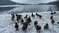 """Valerie Pegler from Livingston took this near St Fillans at Loch Earn.  She says: """"The ducks gathered around our car in the hope that we had..."""