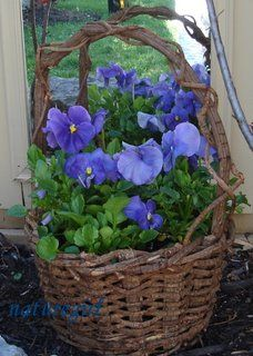 pansies in an old basket...love.