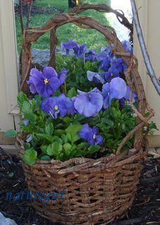 pansies in an old basket...love.