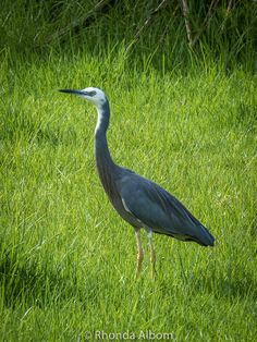 White Faced Heron in Shakespear Park, Auckland New Zealand