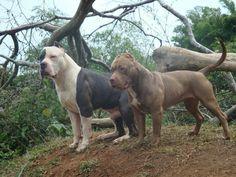 American bully xl jack and american pitbull maisha