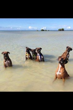 Waiting in the water! #dogs #pets #Boxers Facebook.com/sodoggonefunny