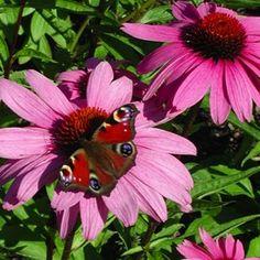 Echinacea, perennials