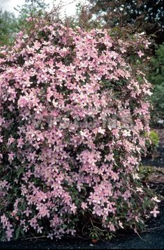 Related image Clematis Montana, Plants, Image, Plant, Planets