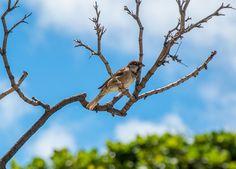 Foto pardal (Passer domesticus) por Evaldo HS Nascimento | Wiki Aves - A Enciclopédia das Aves do Brasil