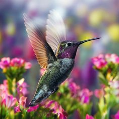 [Anna's] Hummingbird In His Colorful Garden, Oregon, by William Lee / Outdoor Photographer