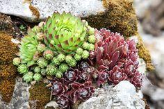 Garden, Stonecrop, Green Stonecrop #garden, #stonecrop, #greenstonecrop