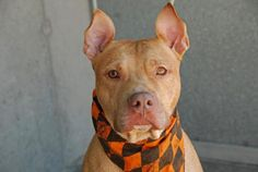 SAFE !  Brooklyn Center  BOSS - A0974062  MALE, TAN / WHITE, PIT BULL MIX, 2 yrs OWNER SUR - Friendly, energetic, and playful. Boss is ready for action!  Likes kids, people & dogs! House trained too. Some guarding w/ food - retrainable. Thoroughly enjoys walks. Would do well with an active family.  If you are looking for a playful pal Boss could be the one for you!