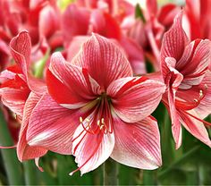 Amaryllis Fantasy,  Bright red splashes add a fanciful touch to the pink-and-white blossoms of 'Fantasy'. Their swirls remind us of peppermint candies and candy canes, but each flower has a unique design. The bulbs require only warm temperatures, strong light, and water to deliver a truly spectacular performance.