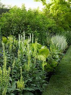 green border | Verbascum chaixii; Hosta 'Sum and Substance'; Philadelphus coronarius 'Aureus'; and Iris pallida 'Variegata.'