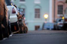 Urban fox   #red_fox #Vulpes_vulpes #mytumblr