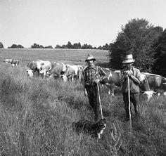 A jószág volt az aranya a népnek. Old Photos, Cow, Horses, Traditional, Retro, Animals, Hungary, White People, Old Pictures