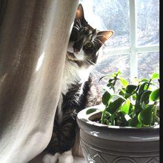 Kitty peaking around the curtain