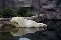 icebear in a German Zoo (Zoom, Gelsenkirchen)