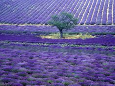 Lavender Fields, Vence, Provence, France.  I really need to go there some time? When is it like this?