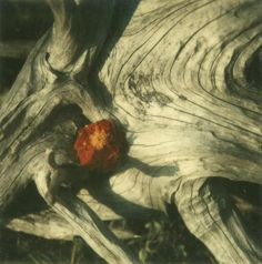 Wood and flower, photographed with a Polaroid SX-70 camera, 1972.