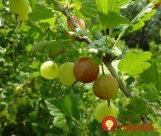 Photo by Chris Murrow Plum, Apple, Fruit, Plants, Food, Backyard Farming, Apple Fruit, Essen, Meals