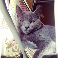 Lex le Chartreux from Portugal my cute baby cat